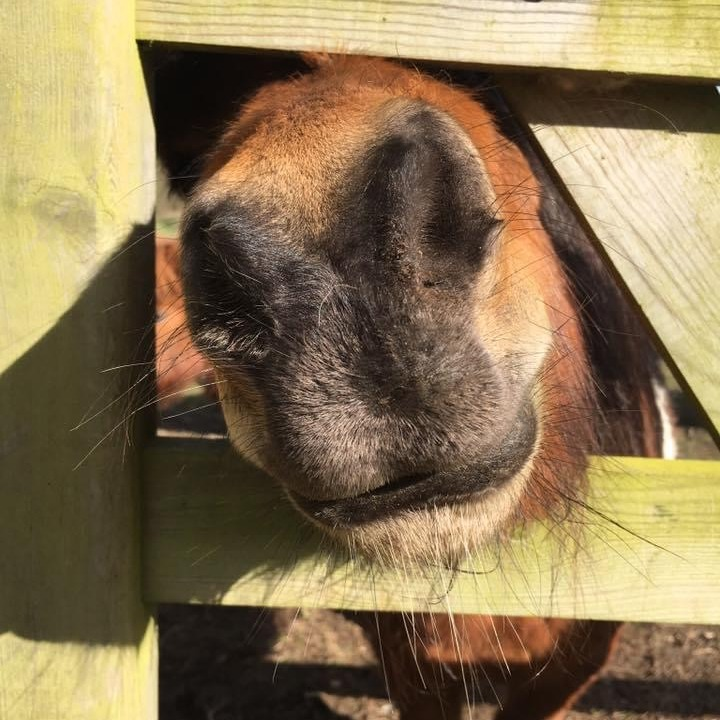 Very friendly Shetland Ponies